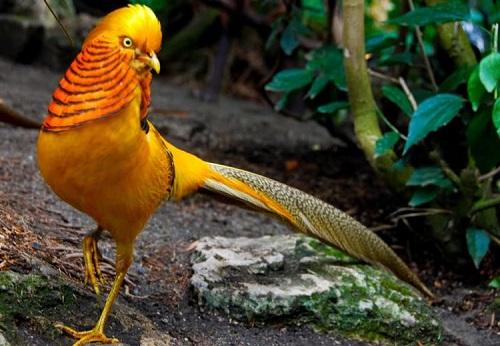 Chim trĩ vàng