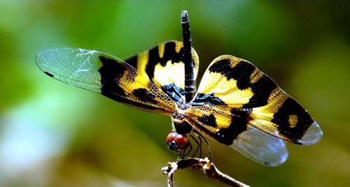 Chuồn chuồn hoa