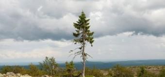 Khám phá và tìm hiểu loài cây cổ xưa nhất thế giới
