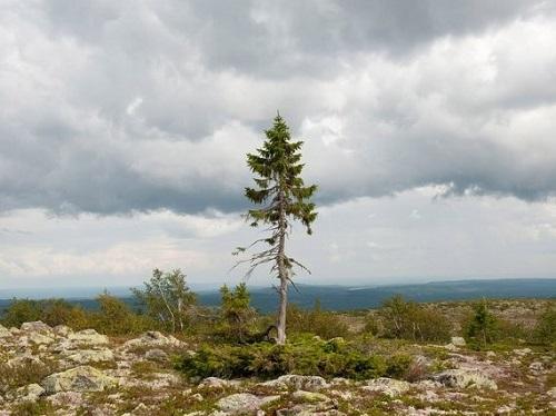 Tjikko-loài cây cổ xưa nhất thế giới