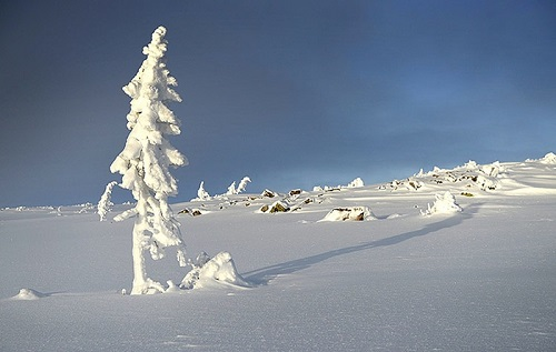 Tjikko đương đầu với băng tuyết hàng ngàn năm