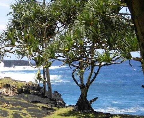 Cây cọ Pandaus trên vách đá cheo leo ven biển
