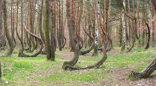 Rừng cây cong Gryfino
