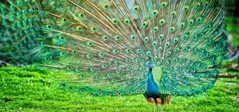 Những điều thú vị bạn nên biết về chim công