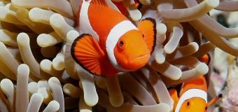 """Cùng tìm hiểu về loài cá hề đáng yêu trong phim """"Truy tìm Nemo"""""""