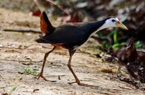 Chim khổng lồ Ibis
