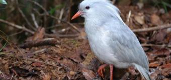 5 loài chim có nguy cơ tuyệt chủng cao nhất trên thế giới