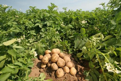 Khám phá thú vị về khoai tây
