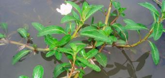 Trị bách bệnh với cây rau dừa nước