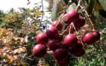 Các loại quả độc và lạ xuất hiện tại Việt Nam