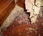 Chống mối mọt tấn công sàn gỗ nhà bạn