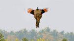 Chim công có biết bay không?