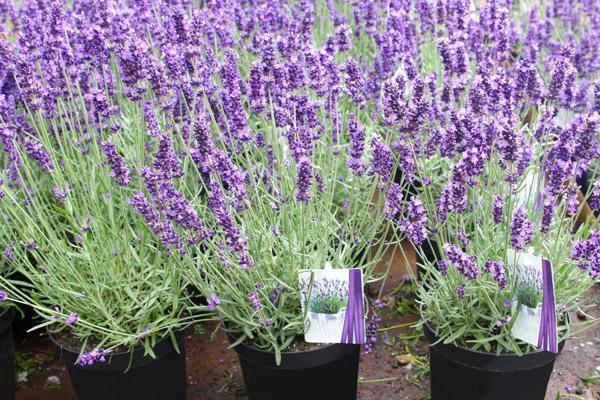 Hoa lavender giúp loại trừ côn trùng quanh nhà