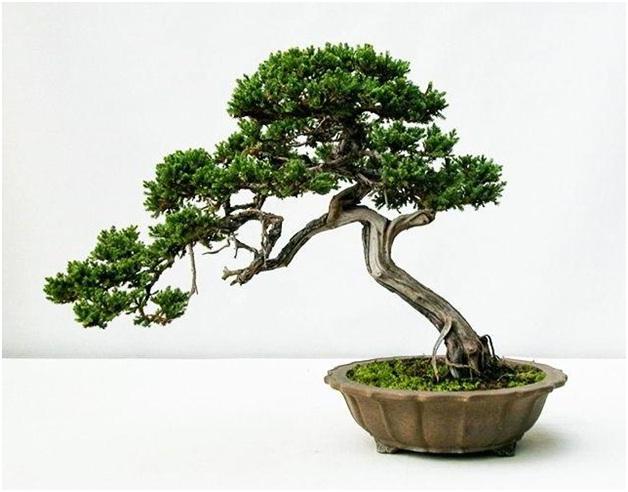 cây phong thủy hợp tuổi thân