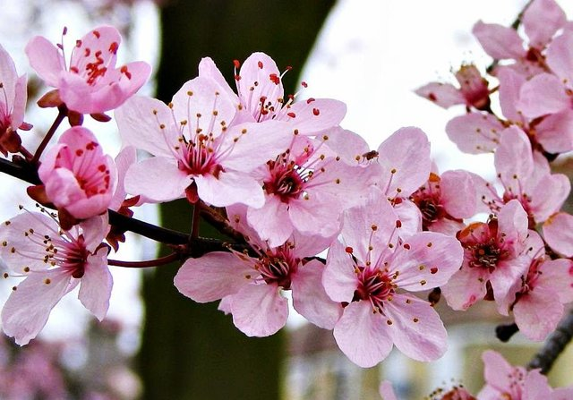 hoa anh đào Yamazakura