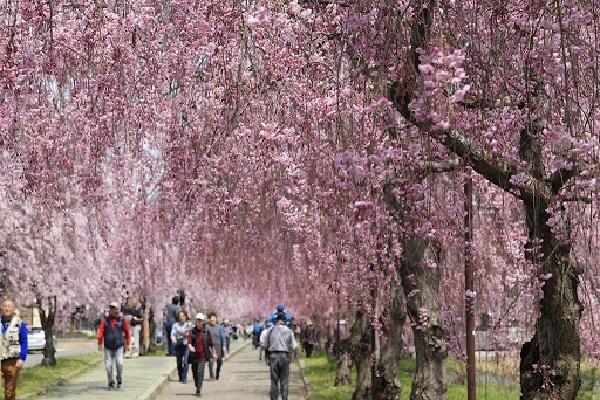 Hoa anh đào Shidarezakura
