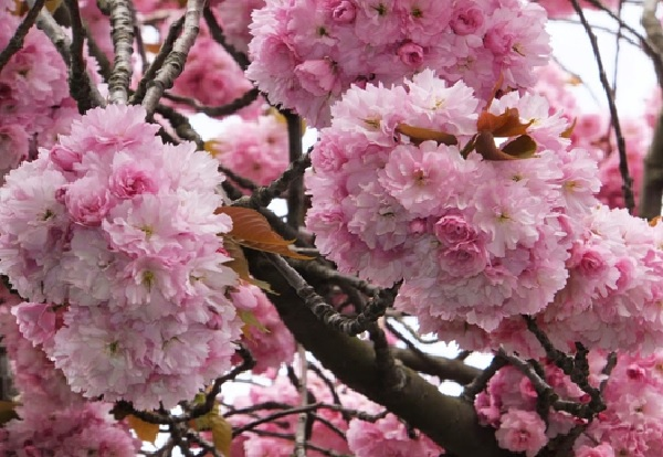 Hoa anh đào Kanzan
