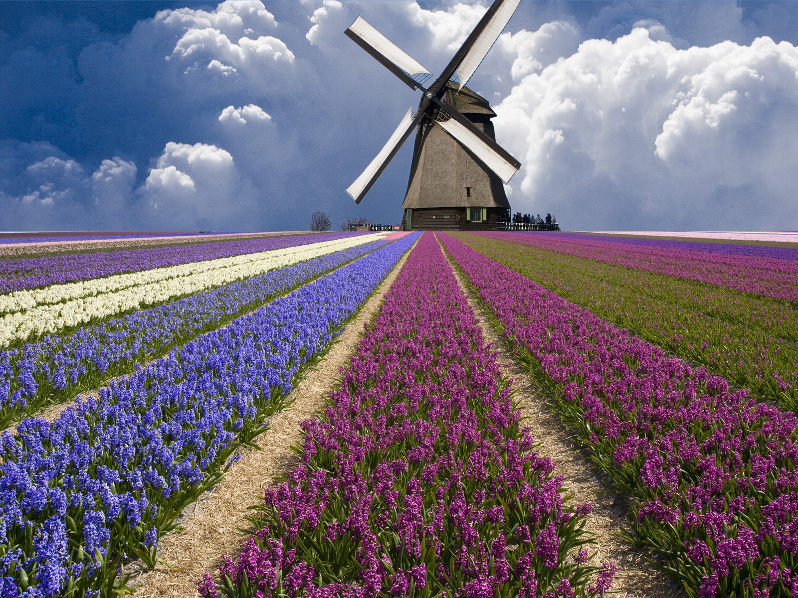 North Holland Province, Netherlands --- Windmill and Flower Field in Holland --- Image by © Jim Zuckerman/Corbis