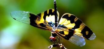 Tổng hợp các loài côn trùng kỳ lạ tại Việt Nam