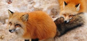 Đến thăm loài cáo đỏ đáng yêu nhất Nhật Bản tại làng cáo Zao Kitsune