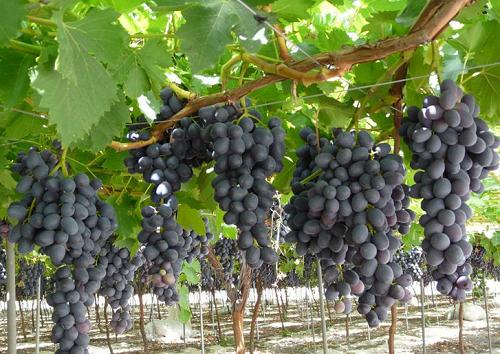 Nho đen- loại quả tuyệt vời cho sức khỏe