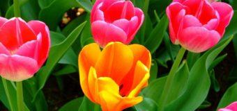 Công dụng của hoa tulip