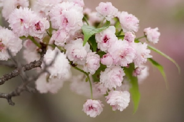 hoa anh đào Kikuzakura