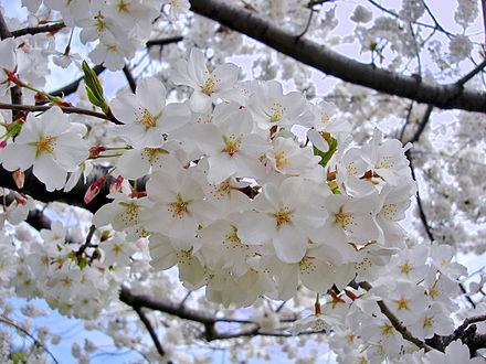 hoa anh đào yoshino