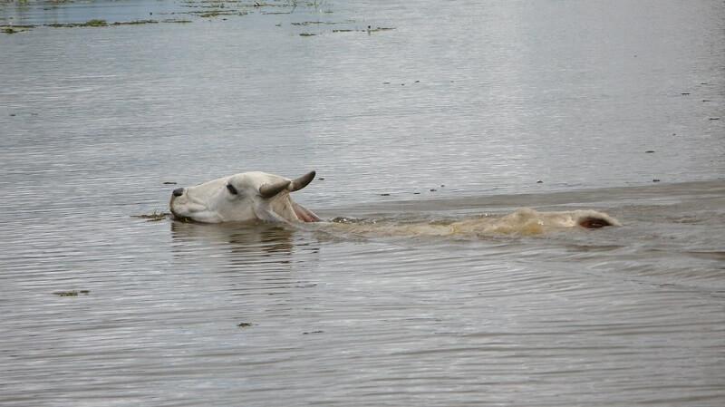 Con bò có biết bơi không ?