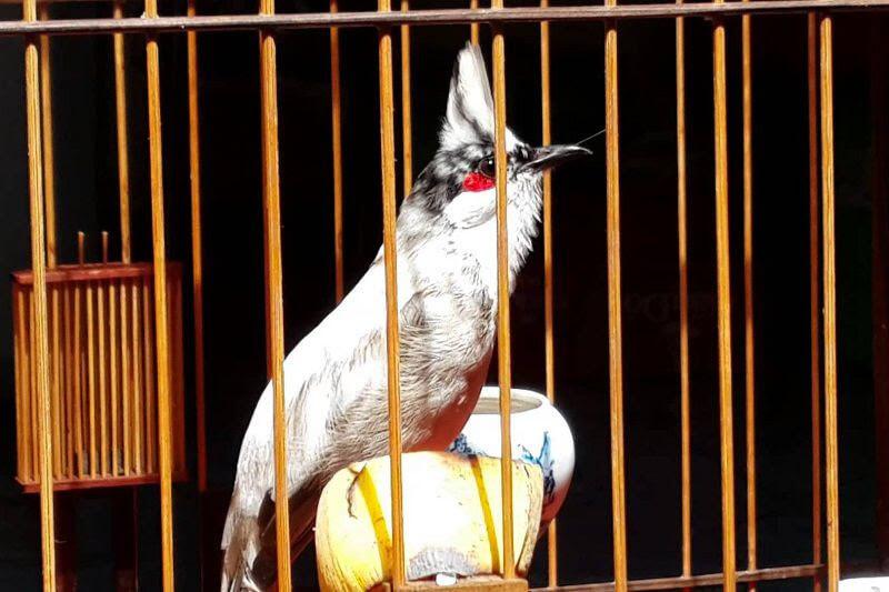 Cách chăm sóc chim chào mào non để chúng nhanh lớn