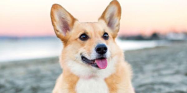 Nguyên nhân huấn luyện chó Corgi