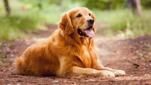 Mẹo nhỏ để huấn luyện chó Golden vâng lời hay nhất   Bạn đã biết?