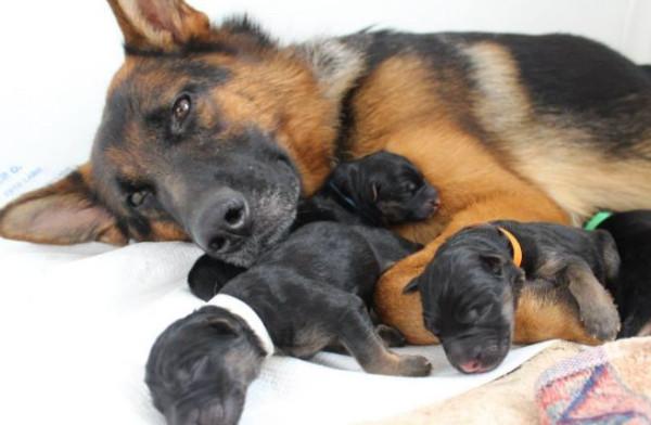 Kỹ thuật nuôi chó Becgie sinh sản