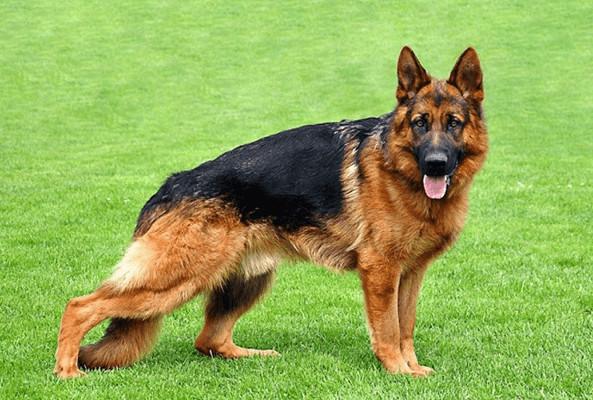 Kỹ thuật nuôi chó Becgie sinh sản một cách chi tiết