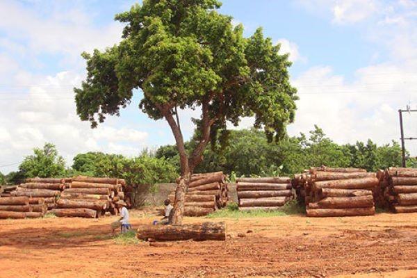 Cây gỗ Xoan đào có thân gô rất to