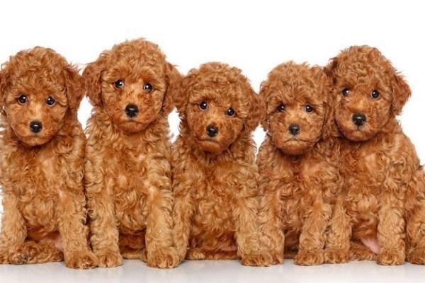 Đôi nét về giống chó poodle