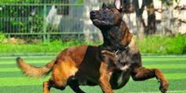 Huấn luyện chó malinios thông minh, nghe lời bằng những cách gì