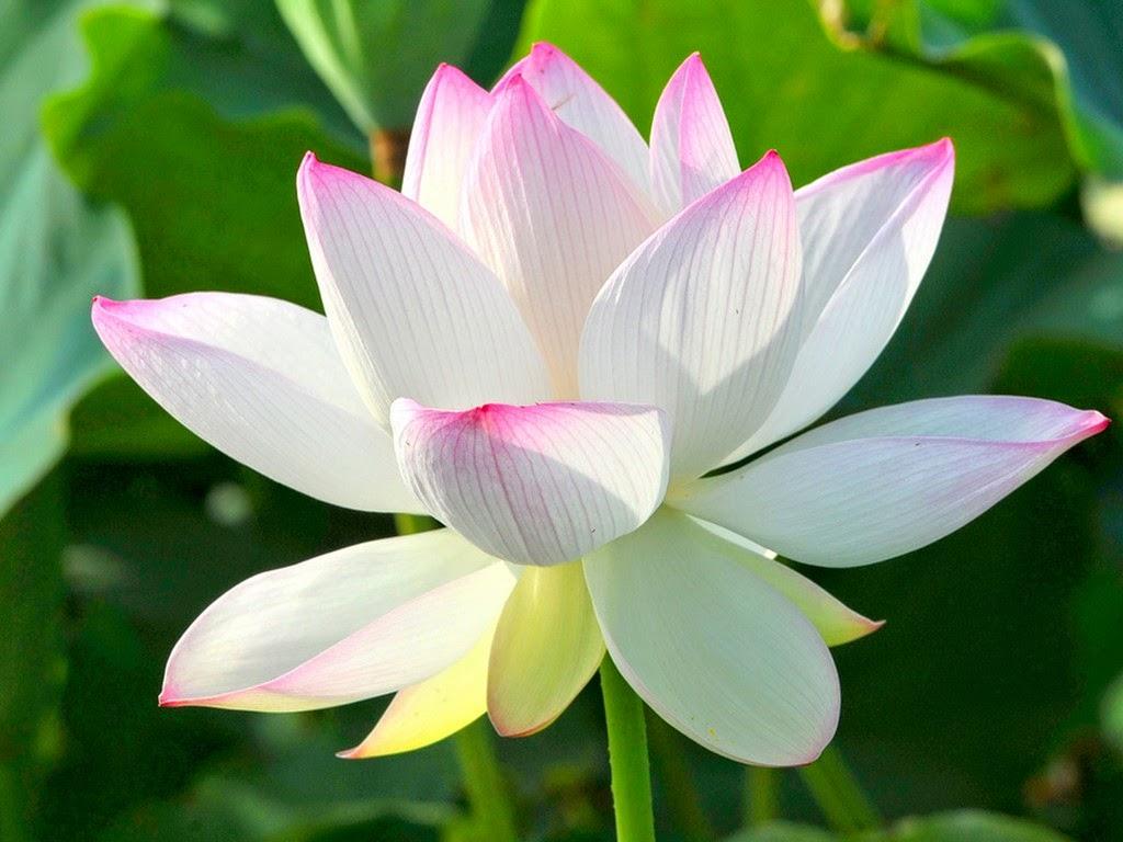 Tranh tĩnh vật hoa sen đẹp, hợp phong thủy tăng phúc khí cho ngôi nhà của bạn