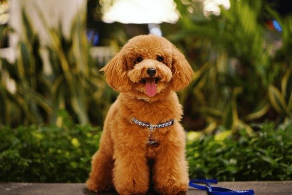 Cách huấn luyện chó cảnh poodle nghe lời, dễ dạy đơn giản tại nhà